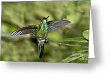 Violet-fronted Brilliant Greeting Card