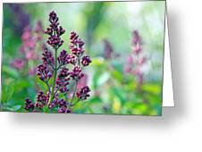 Violet Lilacs Budding Greeting Card