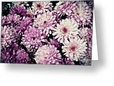 Violet Mums Greeting Card