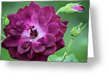 Violet Rose And Buds Greeting Card
