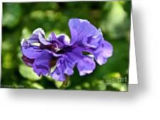 Violet Ruffles Greeting Card