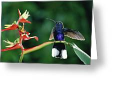 Violet Sabre-wing Hummingbird Greeting Card