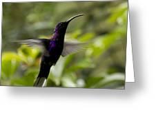 Violet Sabrewing At Cielito Sur Greeting Card
