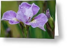 Violet Siberian Iris Greeting Card