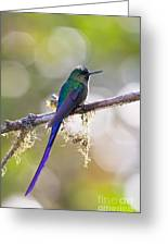 Violet-tailed Sylph Greeting Card