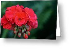 Vividly Red Geranium Greeting Card