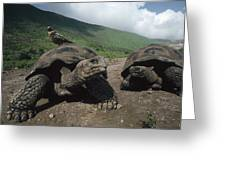 Volcan Alcedo Giant Tortoise Greeting Card