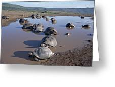 Volcan Alcedo Giant Tortoise Wallowing Greeting Card