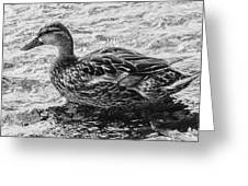 Wading Female Mallard Greeting Card