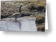 Wading Goose Greeting Card
