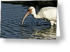 Wading Ibis Greeting Card