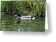 Wading Mallard Duck  Greeting Card by Lizbeth Bostrom