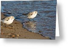 Wading Sanderlings Greeting Card