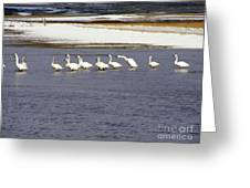 Wading Swans 2 Greeting Card