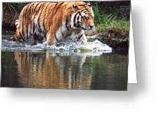 Wading Tiger Greeting Card