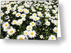 Wall To Wall Daisies Greeting Card