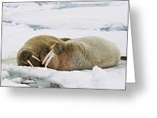 Walrus Male And Female On Ice Floe Greeting Card