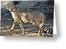 Wandering Cheetah Greeting Card