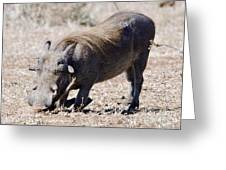Warthog Digging Greeting Card
