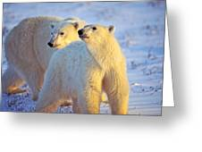 Wary Polar Bears Greeting Card