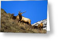 Watchful Bull Greeting Card