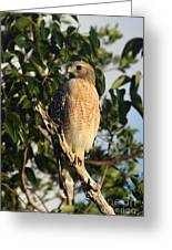 Watchful Eyes - Red Shouldered Hawk Greeting Card