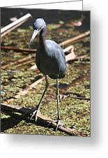 Watchful Little Blue Heron  Greeting Card