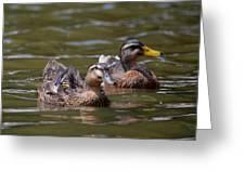 Water Buddies - Female Mallards Greeting Card