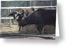 Water Buffalo - 2 Greeting Card