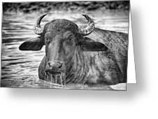 Water Buffalo-black And White Greeting Card