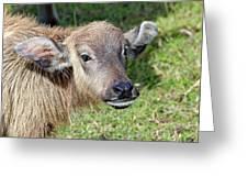 Water Buffalo Calf Greeting Card