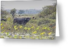 Water Buffaloes At Corroboree Billabong Greeting Card