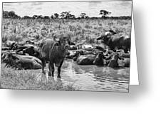 Water Buffaloes-black And White Greeting Card