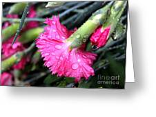 Water Droplets On Carnations Greeting Card by Janice Byer