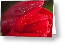 Water Drops On Tulip Greeting Card