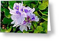 Water Hyacinth On Rapti River In Chitwan Np-nepal Greeting Card