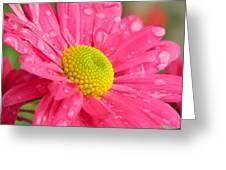 Water Kissed Pink Chrysanthemum  Greeting Card