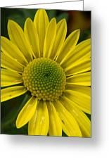 Water Kissed Yellow Chrysanthemum  Greeting Card