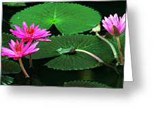 Water Lillies In Pink Greeting Card