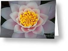 Water Lillies Macro Greeting Card