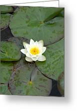 Water Lily - White Greeting Card