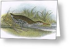 Water Rail Greeting Card