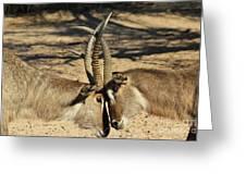Waterbuck Bull Beauty Greeting Card