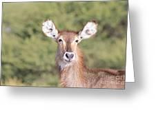 Waterbuck Cow Portrait Greeting Card