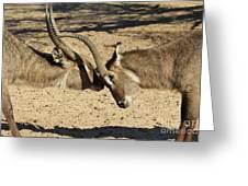 Waterbuck Fight Greeting Card