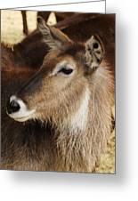 Waterbuck Profile Greeting Card