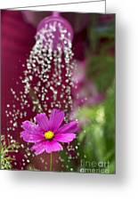 Watering The Cosmos Greeting Card