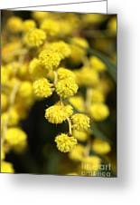 Wattle Flowers Australian Native Greeting Card