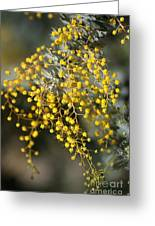 Wattle Flowers Greeting Card