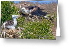 Waved Albatross  And Young Greeting Card